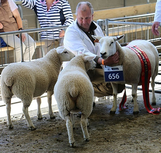 Texels at the Canterbury A&P Show 2017